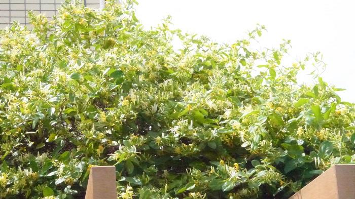スイカズラ(ハニーサックル)の基本情報です。  基本情報 学名:Lonicera japonica 科名:スイカズラ科 属名:スイカズラ属