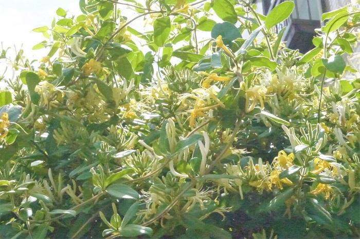 赤毛のアン モン・ゴメリー作 アンが少女から青春時代を過ごしたプリンスエドワード島にはたくさんのスイカズラ(忍冬)が咲いていたのでしょうか。様々な場面でスイカズラ(忍冬)の花が登場します。  アンの幸せを祝福するように、彼女の記念すべき門出でもスイカズラ(忍冬)が香りの良い花を咲かせています。  偉大なワンドゥードル最後の一匹 ジュリー・アンドリュース作 女優ジュリー・アンドリュースが書いたファンタジー小説です。ワンドゥードルという不思議な生き物に会うために、教授と子供たちが協力し合って冒険する物語。この小説の中でスイカズラ(忍冬)は、みんなに希望を与えるようにその香りを漂わせています。