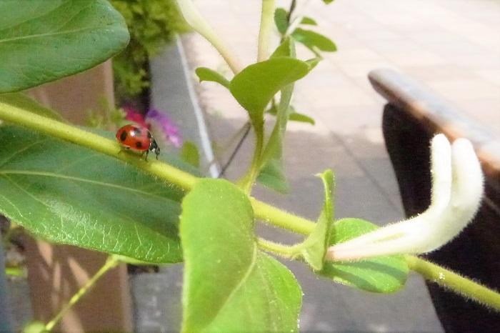 スイカズラ科スイカズラ属の仲間をご紹介します。  スイカズラ科スイカズラ属の仲間 ハマニンドウ 学名: Lonicera affinis  半落葉性つる植物  暖地の沿岸部の林などに自生しています。花の咲き方もスイカズラ(ハニーサックル)そっくりです。見分け方は茎に産毛がなく、花の付け根の苞がスイカズラ(ハニーサックル)より小さいのが大きな違いです。