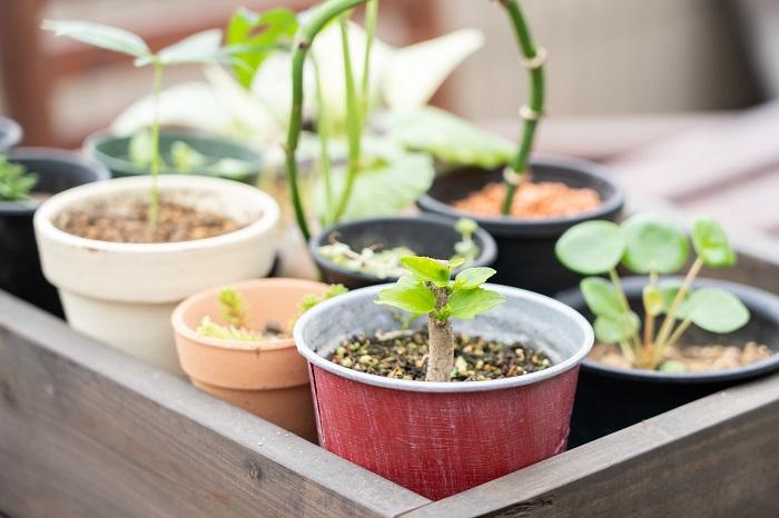 挿し木(挿し芽)とは、増やしたい植物の一部(枝・茎・葉・新芽など)を切り取って植物を増やす方法です。挿し木が成功すれば種から育てるよりも早く生長します。