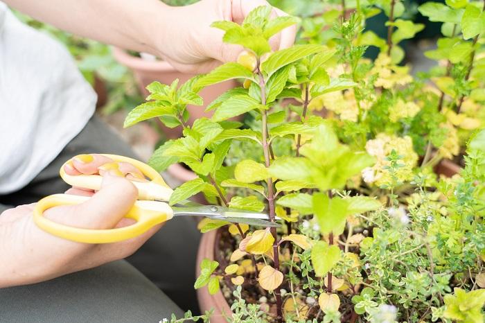 挿し木用に元気なミントの茎を3~4節分ハサミで切り取ります。
