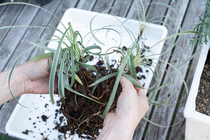 2. ミスキャンタスとハツユキカズラは根が切れないようにほぐして株分けし、量を調節します。