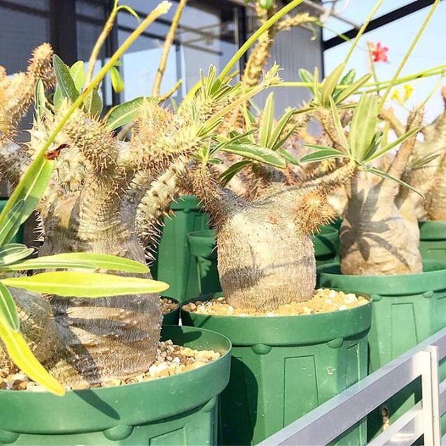 パキポディウム をメインに実生している趣味家さん。sweet jungleでは人気のパキポディウムのさまざまな種類の実生苗を販売されます。