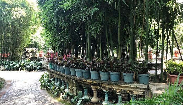 こちらにも挿し木で育成している鉢がずらり。盧家もここもとにかくどんどん挿し木をしているのが印象的。