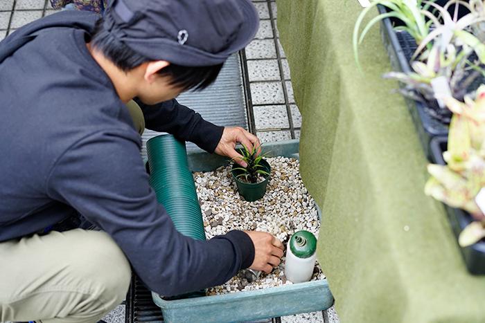 抜き苗のタンクブロメリアは、購入後に鉢に植えてくれました。目の前で植え付けを見られるのは勉強になります!