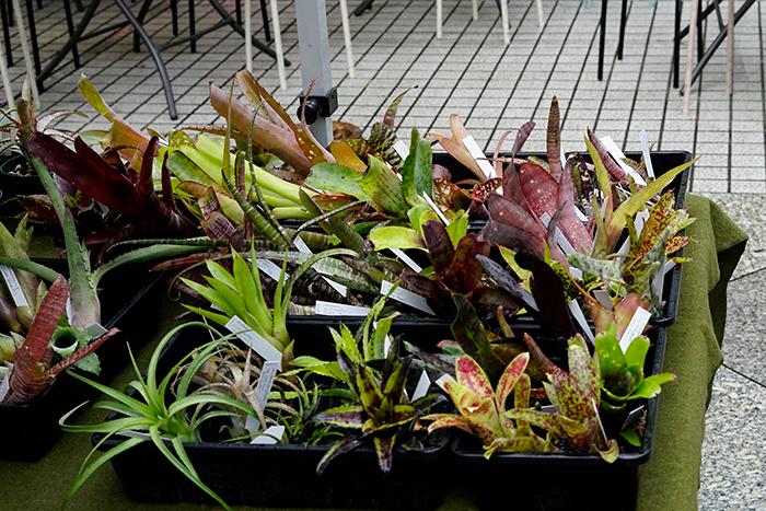 カラフルなビルベルギアなどのタンクブロメリアは抜き苗と、鉢に植わっているものがありました。最近ではカニストラムが人気とのことです。