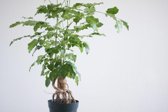 観葉 植物 種類