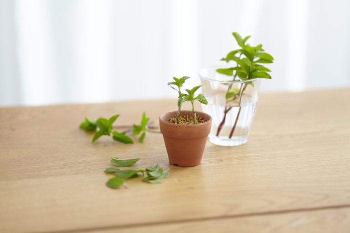 挿し木であれば、種が手に入れにくい観葉植物などを自分の手で増やすことができます。また、草花などは種で増やそうとすると元の花とは違ったものが咲いたりすることがありますが、挿し木であれば親木と同じ姿形の花が咲きます。  買ってきた植物をただ育てるだけでなく、お気に入りの植物を増やしながら育てていくと、より一層植物に対して愛着が深まりそうですね!