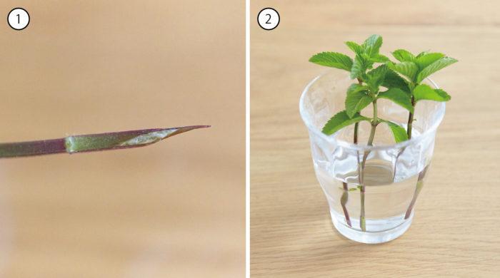 葉を3~4枚程度残して、水に浸かる下の葉を取り除きます。葉を取り除き終わったら、写真-①のようにカッターやナイフなどで斜めに茎を切り、写真-②のように、すぐにメネデール100倍液に30分程度浸けます。(草本性:30分程度、木本性:1~3時間程度)