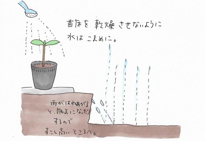 5.苗床を乾燥させないようにこまめに水をやります。ビニール袋をかぶせるなどするのも効果的です。梅雨時期は雨が跳ね上がると病気になることもあるので、少し地上から高い位置に置いて管理するのもいいでしょう。