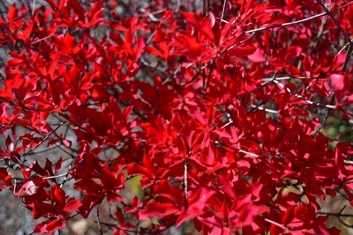 新緑も美しいドウダンツツジですが、圧巻なのは紅葉です。オレンジ色から徐々に真っ赤に色づいて、最後は燃えるような赤に染まる姿はとても美しいです。