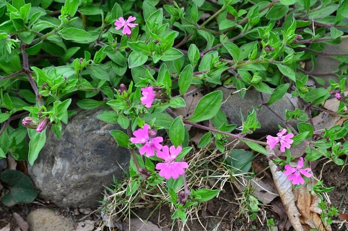 レッドキャンピオンは、ナデシコ科の宿根草のハーブ。草丈50~60cmで、春から初夏にたくさんの花が開花し、切り花にもできます。暑さ、寒さに強く、環境に合えば、こぼれ種が発芽して増えていきます。花の形と色には個体差があります。白花のホワイトキャンピオンもあります。