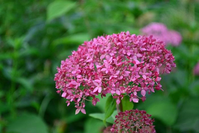 ピンクアナベルは、6~7月に開花します。ピンクアナベルのつぼみは粒々した濃いめのピンク色です。開花するとつぼみより淡めのピンク色が開花します。初夏から秋までの数カ月間、ピンク色からシックなアンティークピンク色まで花を楽しむことができます。  秋色になったピンクアナベルは、ドライフラワーとして楽しむことができます。アンティーク色を過ぎると次第に茶色に変化します。