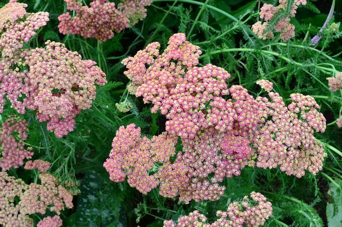 葉っぱがノコギリの歯のようにギザギザしていることから、別名ノコギリソウとも呼ばれるヤロウ。ヤロウはたくさんの園芸種があります。花の色もとても豊富で、写真のようなパステルトーンのものから、ビビッドカラーまであるので、庭の雰囲気に合わせて色を選ぶ楽しみがあります。草丈があるものが多いので庭植え向きです。
