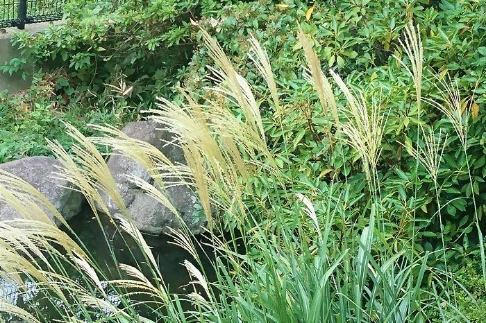 代表的なススキの種類を紹介します。園芸店やネット通販などで入手が可能な品種です。  タカノハススキ Miscanthus sinensis 'Zebrinus'  葉に薄黄色の斑が横縞のように入るススキです。「Zebra grass(ゼブラグラス)」という英名もあります。黄斑が明るい印象を与えます。草丈が2mくらいまで大きくなるので、庭植にするなら大きく場所を確保した方が良いでしょう。  イトススキ Miscanthus sinensis f. gracillimus  葉が通常のススキよりも細いのでついた名称。生長しても1m程度にしかならないので、コンパクトにまとまり、育てやすい品種です。  シマススキ Miscanthus sinensis 'Variegatus'  葉に縦に白斑が入るタイプのススキです。コンパクトにまとまり、強健で育てやすい品種です。  クライン・シルバースパイン Miscanthus sinensis 'Kleine Silberspinne'  オランダで改良された品種です。シルバーの穂が美しく、強健です。大きく生長しますが、冬になっても枯れた状態で地上部が残るので、立ち枯れた姿も美しく、寂しくなった冬の庭を彩ってくれます。
