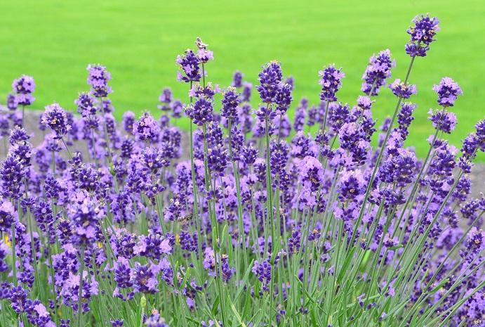 ラベンダーはハーブの中でもとても人気のあるハーブのひとつ。初夏に薄紫色の穂状の花が開花します。色の表現でも最近では「ラベンダー色」という表現をされるほどです。  料理としてのラベンダーは、お茶やお菓子などの香りづけや、花の部分を利用するのが一般的です。また、「エルブ・ド・プロヴァンス」と言って、南仏地方のミックスハーブの調味料の中にもラベンダーが入っていることもあります。