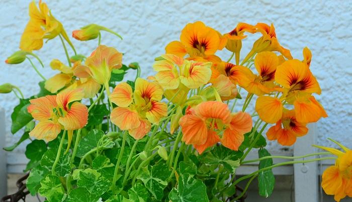 ナスタチウムの花の色は鮮やかな暖色。オレンジ、黄色、赤と鮮やかな色合いが中心です。葉や花を食せるエディブルフラワーとして重宝されています。葉が丸くてかわいい形なのでサラダに入れると引き立ちます。花の色がカラフルなので料理の彩におすすめ。観賞用としても人気のナスタチウムです。