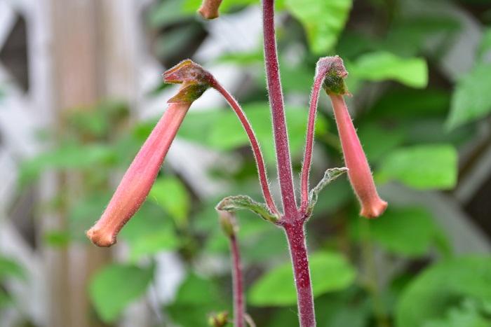 シンニンギア・ラブリーの花は、春に開花が始まります。シンニンギア・ラブリーの花は、つぼみの時と開花した時の色が変化します。