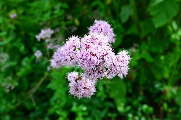 「ハーブ」とは、「暮らしに役立つ香りのある植物」を総称する言葉。昔から生活のあらゆるシーンで薬草や様々な用途で利用されてきました。  現在では園芸用に改良されて、主に利用目的が観賞用のハーブも多数流通しています。様々なハーブの苗は、ハーブショップなどの専門店の他、花屋さん、園芸店などで購入することができます。
