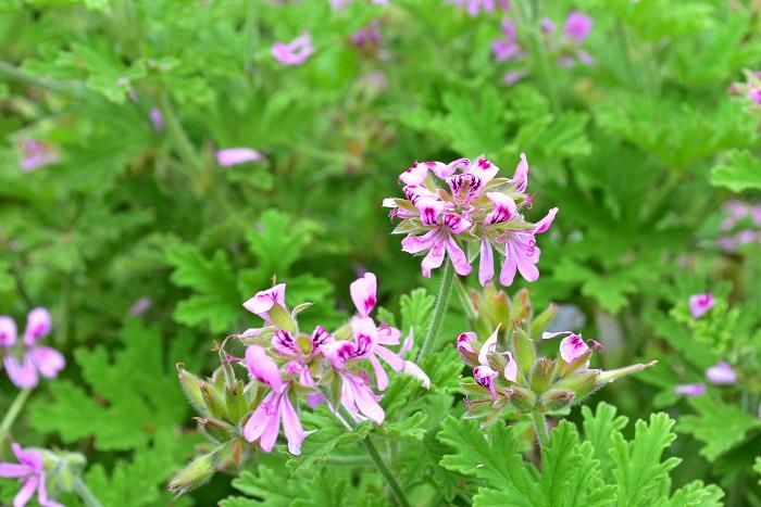 ハーブゼラニウムは、とても品種が豊富なハーブのひとつです。それぞれ、香りや花の色などが違うので、好きなものを目で見て鼻で確認して選びましょう。  ハーブゼラニウムの開花時期は初夏。丈夫で育て方がとても簡単です。最近では葉もの素材として花屋さんで切り花としても出回っています。