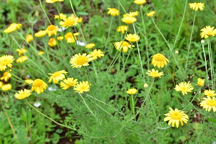 ダイヤーズカモミール  ダイヤーズカモミールは、常緑多年草の黄色い花が咲くカモミールです。初夏から7月くらいまでたくさんの花が開花します。