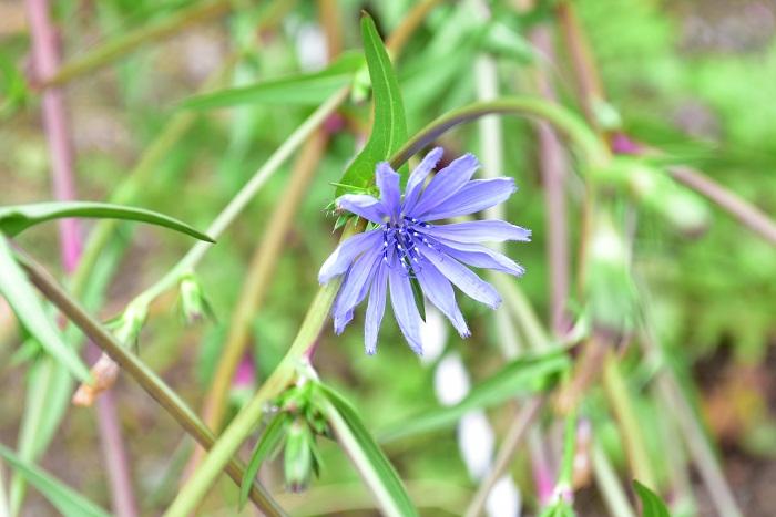 チコリはキク科のハーブ。初夏から夏の間、とても美しい透明感のある淡いブルーの花を咲かせます。この花の特徴は、お昼ぐらいまでで花が閉じてしまうこと。草丈1m~1.5mくらいには生長し、枝のあちこちに毎朝開花します。  最近、カラーリーフやサラダ用ハーブとして「リーフチコリ」が苗もので流通するようになりましたが、リーフチコリもそのまま生長させると、写真のようなブルーの花が開花します。