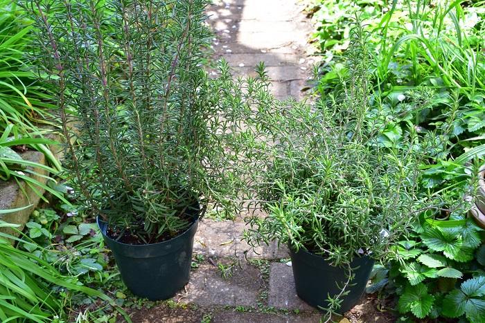 品種選びでひとつ知っておくとよいことは、ローズマリーの生長のタイプは「立性(左)」と「這性(右)」の2つに分かれることです。どちらが自分の用途に合うかで品種選びをしましょう。