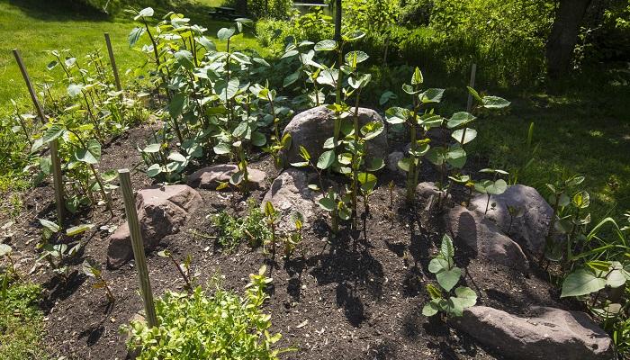 イタドリは地下茎をどんどん増やし、増えたそばからどんどん地表へ伸びてきます。その勢いはタイヘンなもので、コンクリートもつきやぶり、住宅の基礎部分や排水溝などを突き破って伸びてしまいます。