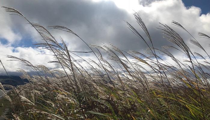 お月見と言えばススキですよね。  ススキを飾るのには諸説ありますが、まず、稲の代わりと言うのがあるそうです。秋の収穫で得た里芋などを供物としていましたが、稲は既に収穫してしまった後だったため、丁度お月見の時期に穂が出ていて稲に似ているススキを飾ったそうです。  また、ススキには神様が休憩し、魔よけの効果があるとも信じられてきました。  沖縄ではススキの葉が魔よけになるとし、サングワーというススキを結んでつくる魔よけもあります。物を腐らせたり魔よけになる「マジムン」という悪霊を寄せ付けないように、食材の上に置いたり、家の軒先につるしたりするそうです。小さいものを作ってお守りのように身に着けたりするようですよ。