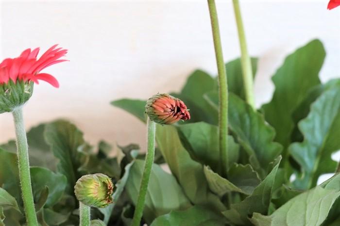 ガーデンガーベラの苗を購入する際、葉が健やかにしっかりと育ち、つぼみが多い苗を選ぶことが大切です。咲き終わった花や古い葉は、早めに株元からカットして取り除きます。葉が多く茂りすぎたら、不要な葉を数枚株元からカットして減らし、株元に日を当てましょう。こうすることによって株の中に光が良く当たるようになり、花が咲きやすくなります。  肥料は、花が次々と咲く時期は水やりを兼ねて液体肥料を週に1回程度施すか、緩効性肥料を月に1回程度あげましょう。冬は必要ありません。   鉢植えの場合はできれば毎年、春か秋に一回り大きい鉢に植え替えると根詰まりせずに良く育ちます。