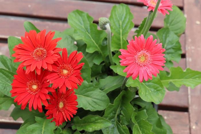 ガーデンガーベラを育てる時に大切なポイントは4つです。このポイントをしっかりおさえて、ガーデンガーベラの美しい花を次々と咲かせましょう。  日当たりと風通しの良い場所で育てます。 春~秋は土が乾いたらたっぷり水をあげましょう。冬はやや乾燥気味に水やりをします。 花が次々と咲く時期は、水やりを兼ねて液体肥料を週に1回程度施すか、緩効性肥料を月に1回程度あげましょう。 咲き終わった花や枯葉は早めに取りましょう。