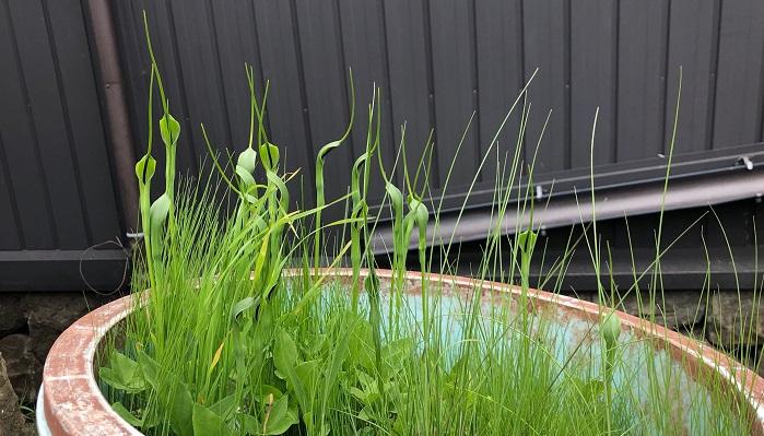 長野県上田市で撮影したカラスビシャク。別名きつねのろうそく、へびのまくら。