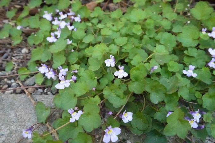 学名:Cymbalaria muralis 科名:オオバコ科ツタバウンラン属 分類:越年草 花期:4~6月  花がウンラン(リナリア)に似ていることと葉がツタに似ていることから、ツタバウンランと呼ばれる雑草です。道端や駐車場、公園などで見かけます。アスファルトの隙間から生えている逞しい姿も見かけます。 シュートを伸ばし横に広がっていく草姿もツタのようです。花は1cm足らずの小さな花で、淡い紫色をしています。