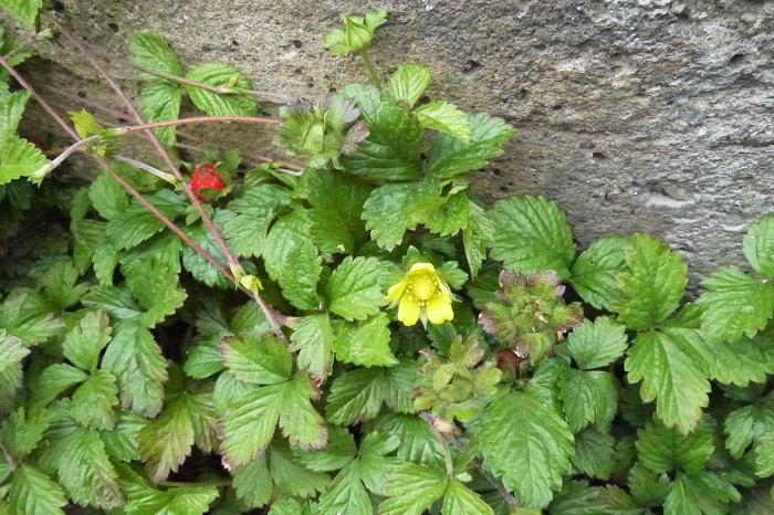 学名:Potentilla hebiichigo 科名:バラ科キジムシロ属 分類:多年草 花期:4~6月  ヘビイチゴは道端や空き地など身近な場所で見かけるバラ科の雑草です。春から初夏に咲く黄色い花が可愛らしく、丸みを帯びた3枚の葉も特徴的です。花後に出来る赤い果実も観賞価値があります。 ヘビイチゴの果実は真赤に熟し、見るからにおいしそうなのですが、食用にはなりません。有毒ではないそうですが、甘みは無くうっすらと酸味をかじる程度の味です。 ヘビイチゴの名前の由来は人間の食用にはならないイチゴという意味です。昔は食用にならないものにヘビの名前を付ける習慣があったようです。