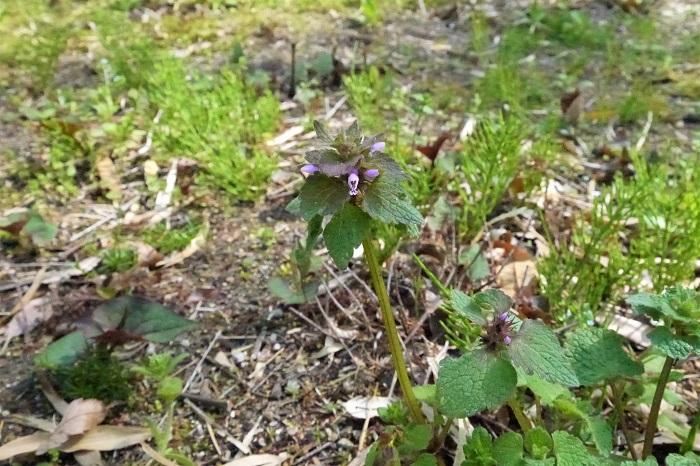 学名:Lamium purpureum 科名:シソ科オドリコソウ属 分類:越年草 花期:4~6月  ヒメオドリコソウはホトケノザに似たピンク色の花を咲かせる雑草です。小さな花と薄っすらと赤味を帯びた葉が可愛らしく、ちょっと摘んで小瓶に生けたりしても素敵です。 庭や空き地、公園、畑や田んぼの畔など、しっかりと土があるところに自生しているような雑草です。アスファルトの隙間などから出ている姿はあまりみかけません。 ヒメオドリコソウは外来種です。本来は日本に自生する「オドリコソウ」という種類があったのですが、ヒメオドリコソウの繁殖力の強さに負けてしまったようで、今ではあまり見かけなくなりました。