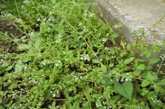 学名:Trigonotis peduncularis 科名:ムラサキ科キュウリグサ属 分類:多年草 花期:4~6月  キュウリグサは淡い水色の小さな花が可愛らしい雑草です。道端や空き地、民家の軒先やちょっとした敷石やレンガの隙間などからも生えているのを見かけます。草丈10~20cm程度、細い茎の先2~3㎜の小さな花を咲かせます。 名前の由来は葉茎を揉むとキュウリのような香りがするから。ストレート過ぎて拍子抜けするような名前です。 「私を忘れないで」の花言葉でも有名なワスレナグサと同じムラサキ科の植物です。雑草とは思えない可憐なたたずまいの花です。