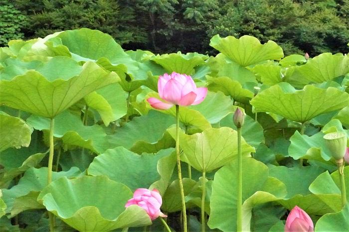 仏教だけでなく、他の宗教や国々でも蓮の花は象徴として愛されてきました。  象徴として 蓮の花は昼には閉じて、朝になると再び開くことから、太陽や創造、再生の象徴とされています。インド、ベトナムの国花とされています。  ヒンドゥー教の神クリシュナは「蓮の目をもつもの」と呼ばれている他、ラクシュミや他の神々とも関わりの深い花です。  エジプトでは 睡蓮と同様に、蓮はエジプトを象徴する花とされています。正確にはエジプトの国家は睡蓮ですが、蓮の睡蓮と併せて再生と復活の象徴とされているそうです。  ギリシャ神話 ギリシャ神話では、ニンフのロティが自らの実を守るために蓮にその姿を変えたという逸話もあります。