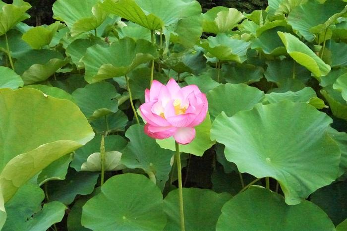 蓮(ハス)の花の季節!神話、香り、食べ方、特徴、睡蓮との見分け方 ...