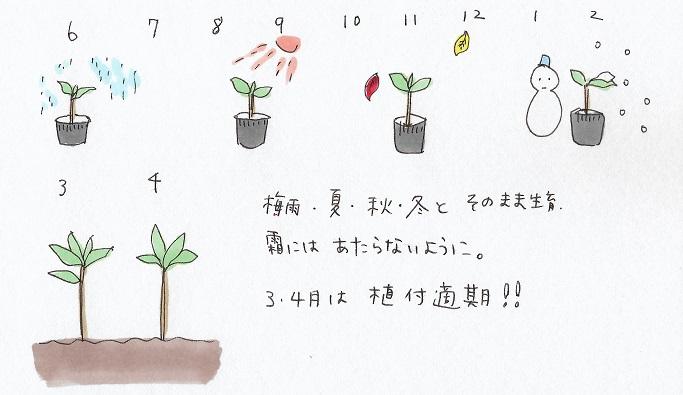 6.梅雨時期、夏の時期、秋、冬とそのまま生育させます。根っこが生えてるか確認したくなりますがここはガマン。新芽が出てきたら無事に生長している証拠です。庭に植え付けをするときは次の年の春先がおすすめです。3月から4月にかけてが最も根つきやすいでしょう。