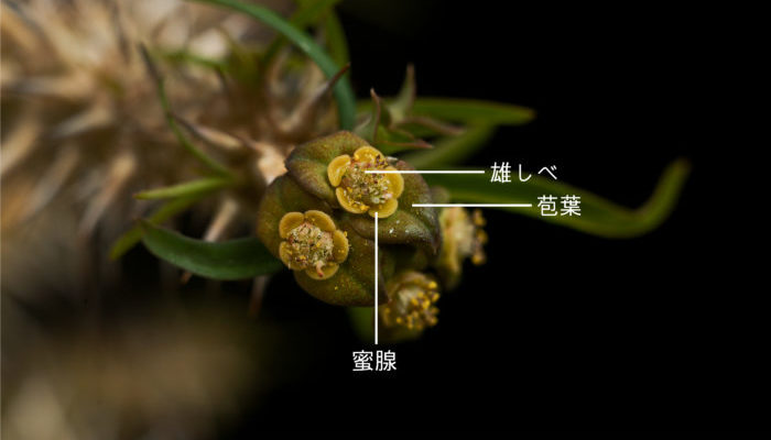 ユーフォルビアは杯状花序と呼ばれる花を包む苞葉が花びらの様になり、花を包み込むようになっています。また、種類が多いユーフォルビアは雌雄異株(雄株と雌株に分かれており自家受粉しないようになっている)や雌雄異熟(雄花と雌花の開花期がずれている)、雌雄異花同株(1つの株に雄花と雌花が咲く)などの咲き方をするものがあります。多肉系ユーフォルビアになると雌雄異株のものが多く、定番種のユーフォルビア・オベサ(Euphorbia obesa)などは雌雄異株となり、受粉させるには雄株と雌株をそろえる必要があります。  基本的に地味な花の多いユーフォルビアですが、花材に使われる種類もあり、草姿だけでなく花の観賞価値も十分高いです。