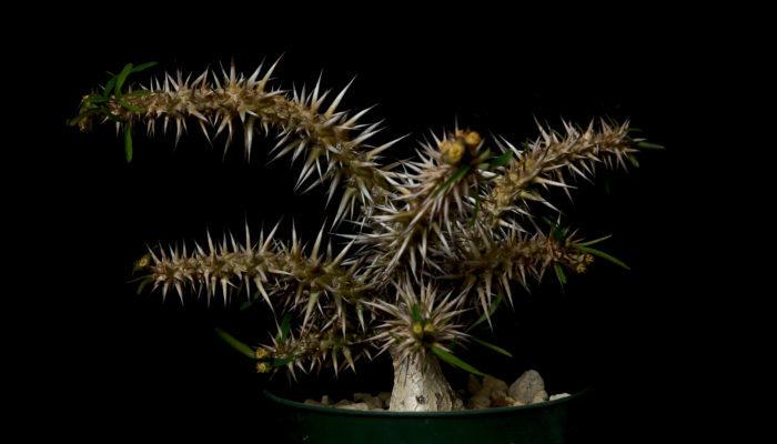 Euphorbia rossii  ロッシーは株元が塊根状になり、これでもかというほど太く、長いトゲを生やす花キリン系ユーフォルビアです。生長は遅いですが非常に猛々しい姿をしており、魅力的なユーフォルビアです。花が地味なところも個人的に好感触です。