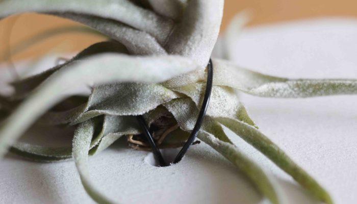 ティランジア(エアプランツ)は垂直の板などに着生させたとき、上側の葉の間から子株を出すので、出来るだけ下側の葉に針金をかけるようにしますが、下側の葉だけではうまく固定できない場合は上下で挟むように針金をかけると固定しやすいです。