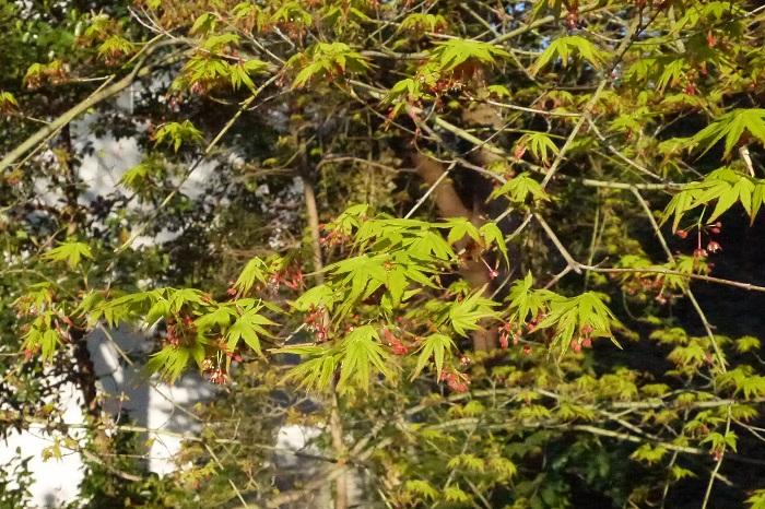 玄関脇に植えたモミジは春の新緑と気付かないほど小さな赤い花が可愛らしく、秋には紅葉して楽しませてくれます。一年を通して楽しめる樹木です。