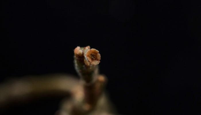 生長期に入ると写真のような地味で極小の花を咲かせます。花に香りはなく、大きさも1mm~2mm程度なのでよく見ないと気づきません。