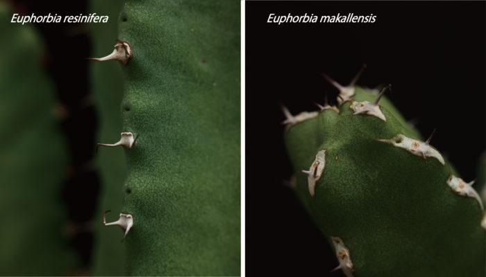 また、マカレンシス(Euphorbia makallensis)に類似していますが、レシニフェラとマカレンシスではトゲの付け根の形状が違うため、比較的容易に判別できるかと思います。枝の真ん中に線が入っているかいないかでも判別可能ですので、迷ったときは合わせてご確認ください。枝に線が入っていない方がレシニフェラで、入っている方がマカレンシスです。