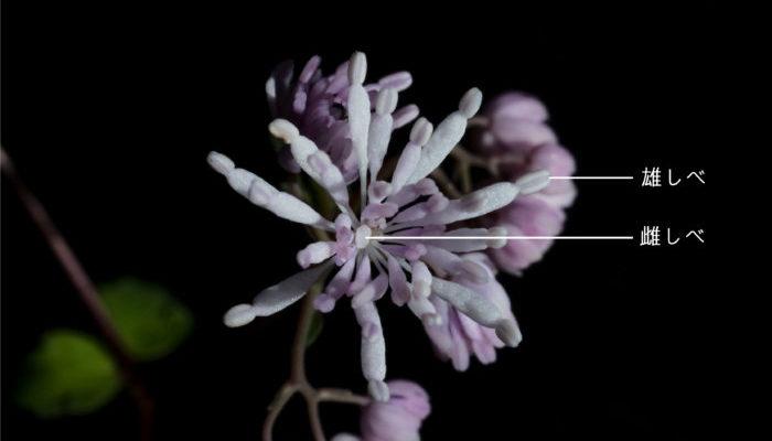 筑紫カラマツはガクと花弁が退化し、雄しべと雌しべのみが残ったシベ咲きという咲き方をします。花びらの様に見えているのが雄しべで、中心に雌しべがあり、花の直径は1cm程度です。