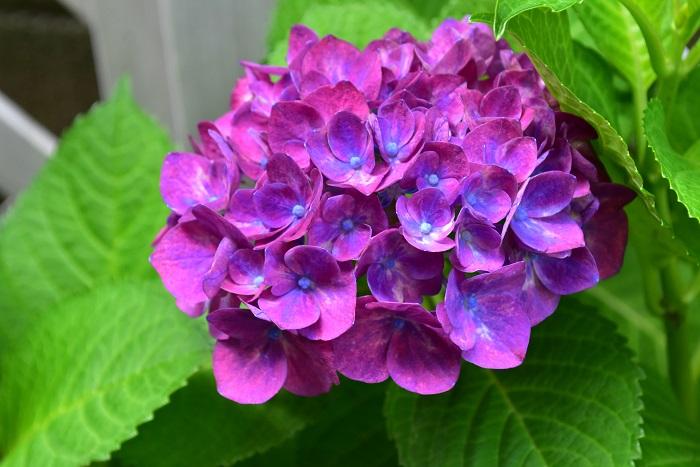 購入した年の最初とは少し違う色ですが紫系のアジサイが今年は無事開花しました。
