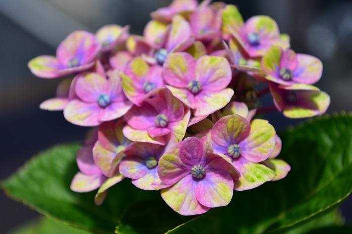 LOVEGREEN編集部の花壇は、深さがかなりある花壇です。2019年の花は、マジカル系を思わせる色合いで開花しました!まだ花のサイズは小さめですが、これから少しずつ大きくなるかなと期待しています。