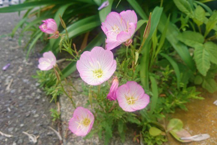 学名:Oenothera speciosa 科名:アカバナ科 分類:多年草 花期:5~7月 初夏から夏の間に花を咲かせます。直径3~4cmのお椀型の花で、花びらは4枚、花色は白からピンク、透けるような質感が可憐な印象的です。 マツヨイグサ属ですが昼から花を咲かせるので、ヒルザキツキミソウというのが名前の由来と言われています。 道端や野原、公園、駐車場の脇など、身近な場所で見かける雑草です。雑草として扱うにはあまりに可憐な姿をしているので、庭先などで見かけるとそのままにしておく人も多いような花です。ただ、花が咲くまでその価値に気付かない人も多く、雑草として抜かれてしまうことが多いようです。