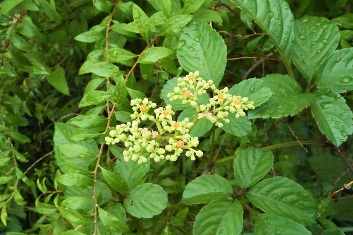 学名:Cayratia japonica 科名:ブドウ科 分類:つる性多年草 花期:6~8月 ヤブガラシの名前は、藪も枯らしてしまうほどの繁殖力の強さが由来と言われています。その名の通り、公園や道端、民家の庭先など、様々な場所でヤブガラシが繁っているのを見かけます。  繁殖力の強い雑草と敬遠されがちなヤブガラシですが、夏に咲く花が可愛らしいという特徴があります。花は非常に小さく、直径2~3㎜くらいの小花を集合させて咲きます。ヤブガラシの花は咲き始めはピンク、咲き進むに従ってオレンジ色に変化していくので、ミックスカラーのような可愛らしさがあります。  さらに蜜が豊潤なのでしょうか。蝶や蜂といった昆虫が訪れているのも度々見かけます。雑草と言って抜いてしまう前に、その可愛さも見直してみてください。